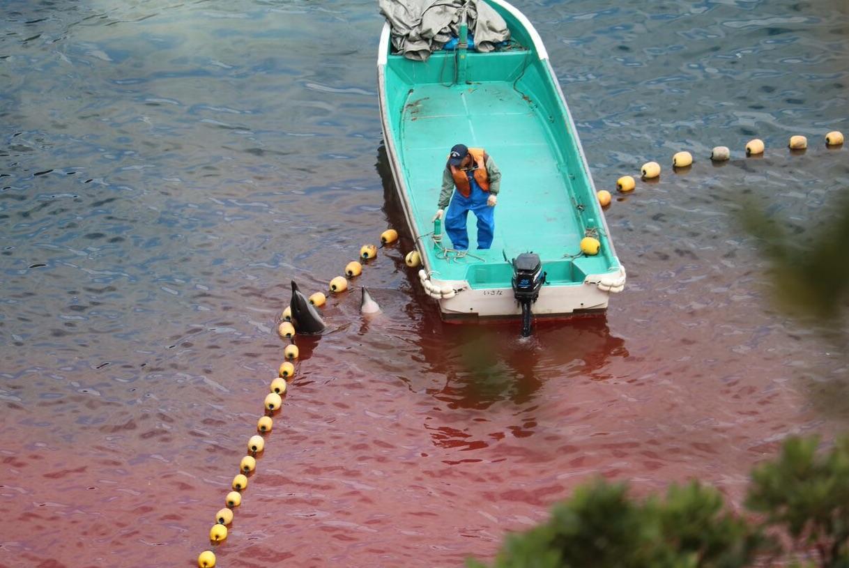 Des dauphins tentent de s'échapper sous la surveillance des pêcheurs.  Droits : Dolphinproject.net